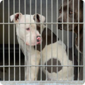 AC&C encourages pit bull adoption in NYC
